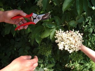 Elderflower cutting