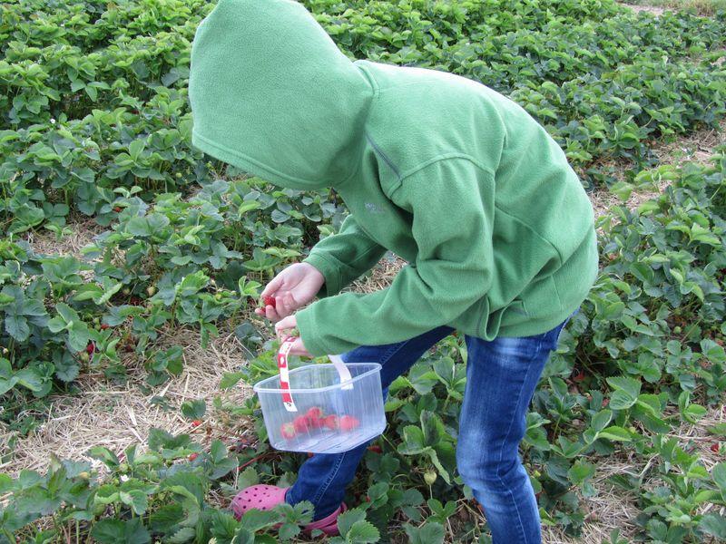 Strawberry picking may 2011 007