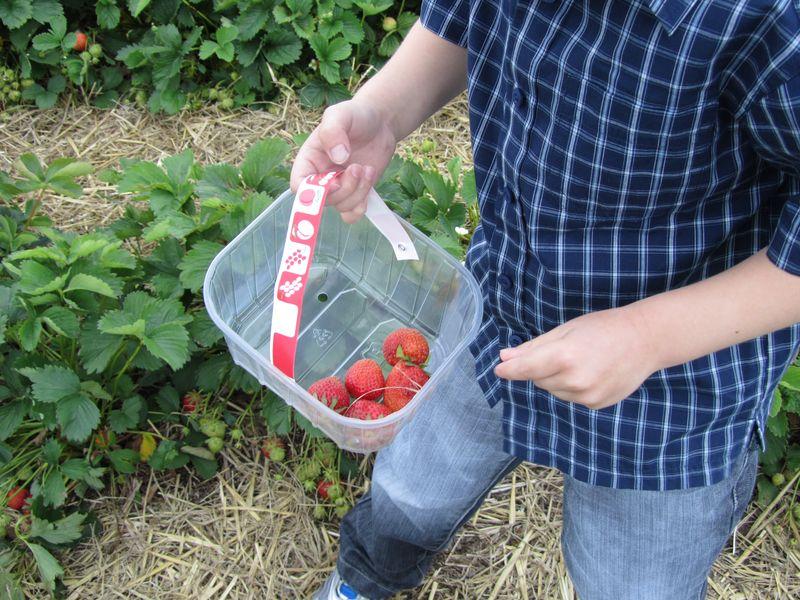 Strawberry picking may 2011 004