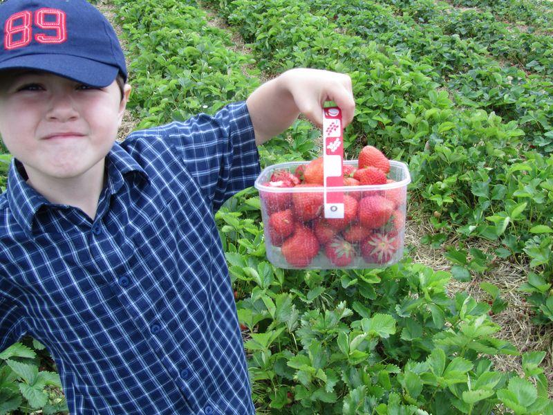 Strawberry picking may 2011 012