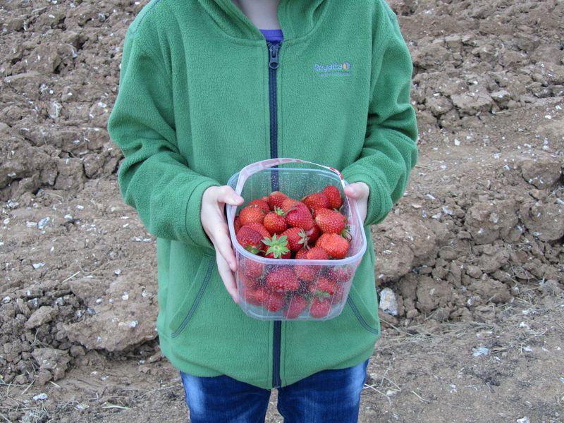 Strawberry picking may 2011 015